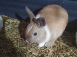 Baby boy rabbit for sale