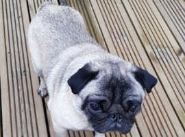 Male Kc registered pug