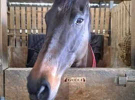 6 year old tb mare 16h