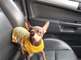 Miniature pinscher chocolate & tan KC