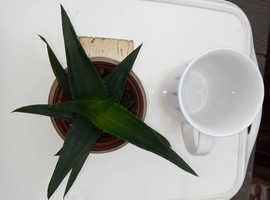 Aloe / Haworthia Pentagona Houseplants
