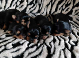 Top Quality Yorkshire terrier pups