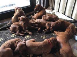 Irish Red Setter puppies