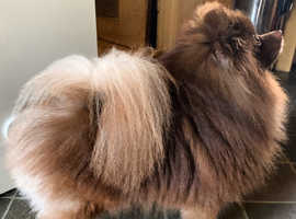 Proven Chocolate Pomeranian for STUD , Kc registered