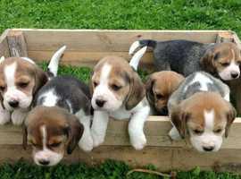 big litter of stunning beagle puppies
