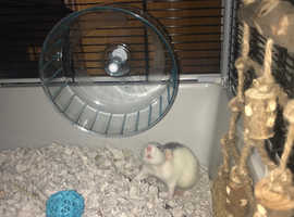 2 Female Rats For sale