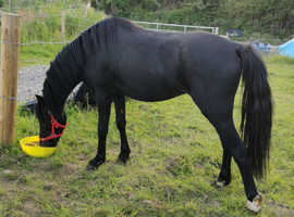 Welsh b colt