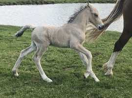 Welsh section a filly's for sale