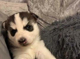 One beautiful black, white and grey female husky puppy left