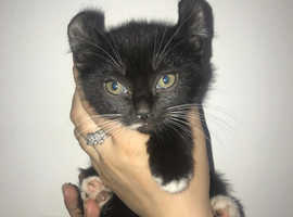 Beautiful American Curl Kittens For Sale Ready Now