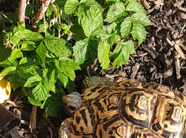 Leopard Tortoise with FULL Set Up