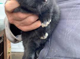 Netherland dwarf X 10 weeks old