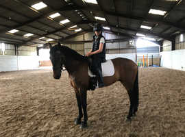 15.2 hh TB x Andalusian Gelding