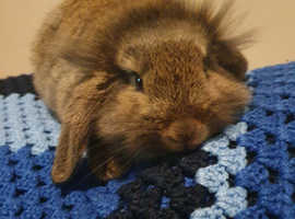 4 month old lop and indoor cage