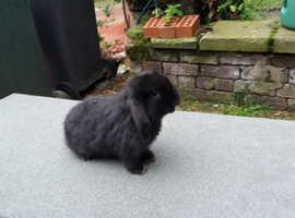 Baby boy lop rabbit and hutch