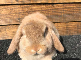 Beautiful pure bred mini lop
