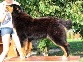 Bernese Mountain Dogs & Puppies For Sale & Rehome in North