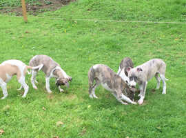 Beautiful KC whippet pups. Strike while the irons hot/Sooty Sam lines