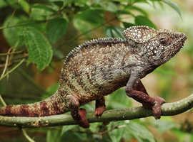 Chameleon,  vivarium