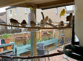 zebra finches for sale and looking to buy fifes canarys male border female for my aviary.