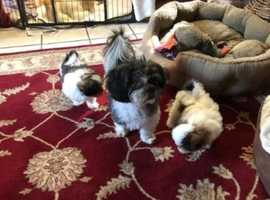 Loving Shih Tzu pups