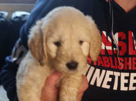 Beautiful F1 Goldendoodle Puppies, READY NOW