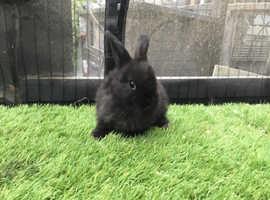 Black mini lop x Netherland dwarf baby rabbit boy