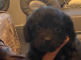 Pug cross miniature toy poodle