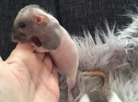 Pair of dumbo rats,must stay together,one furred/one hairless( double Rex) patchwork,so cute!!