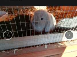 baby pure mini lop rabbits well handled and used to children