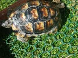 Tortoise with full set up and certificate