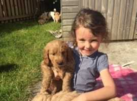 Miniature goldendoodle puppies fully health tested parents