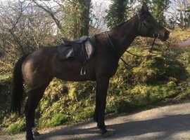 Super fun 6 year old Tb mare