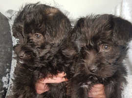 Cairnoodle puppies for sale