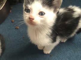 Bengal cross Male kitten for sale
