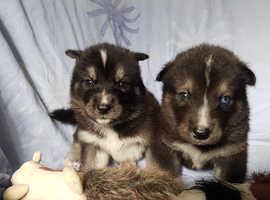 5 stunning utonagan pups