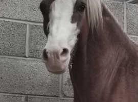 Ardwyn triple crown Welsh c colt