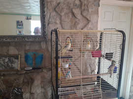 2cockatiels and big cage, female 7years and male 2years old