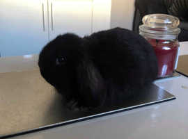 Mini lop baby ready now