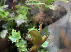 3 brown anoles and one green tree frog