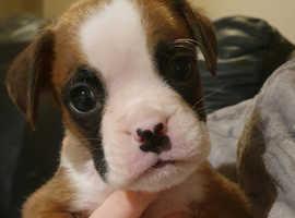 KC reg flashy bobtail and tailed boxer puppies