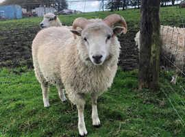 Pedigree Shetland sheep