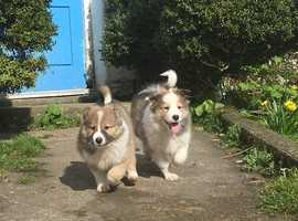 Collie Puppies for sale