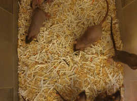Baby dumbo female rats for sale