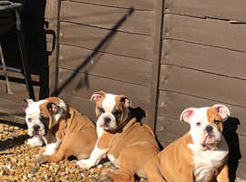 English Bulldogs Triple Tri Carriers