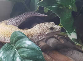SID, THE LEOPARD GECKO AND HIS HOME