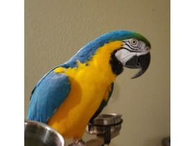 Beautiful Pair Of Gold And Blue Maccow Parrots