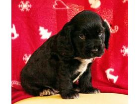 Beautiful cocker spaniel pups for sale....