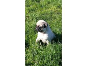 Quality IKC Registered pug pups
