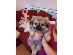 for sale a adorable little girl pekingese